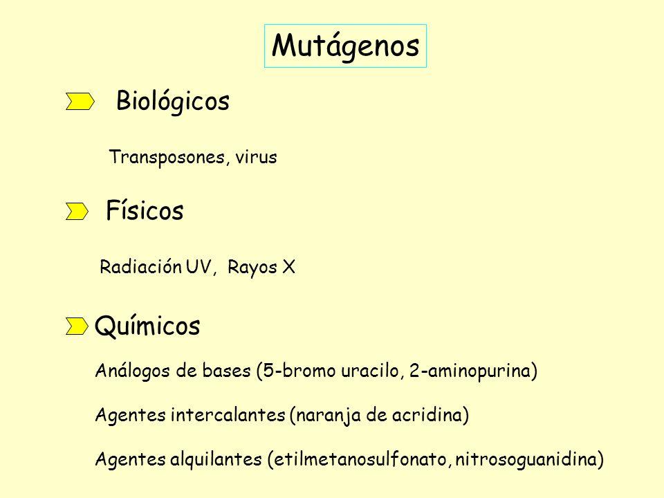 Mutágenos Biológicos Físicos Químicos Transposones, virus