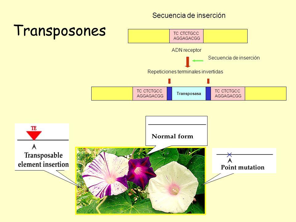 Transposones Secuencia de inserción ADN receptor