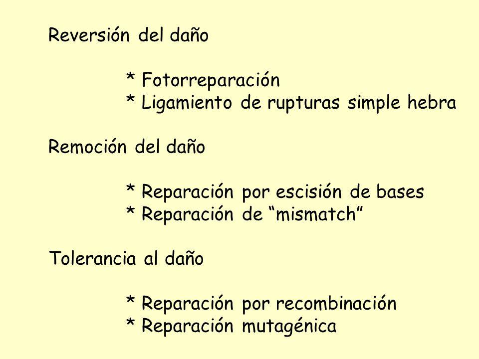 Reversión del daño * Fotorreparación. * Ligamiento de rupturas simple hebra. Remoción del daño. * Reparación por escisión de bases.