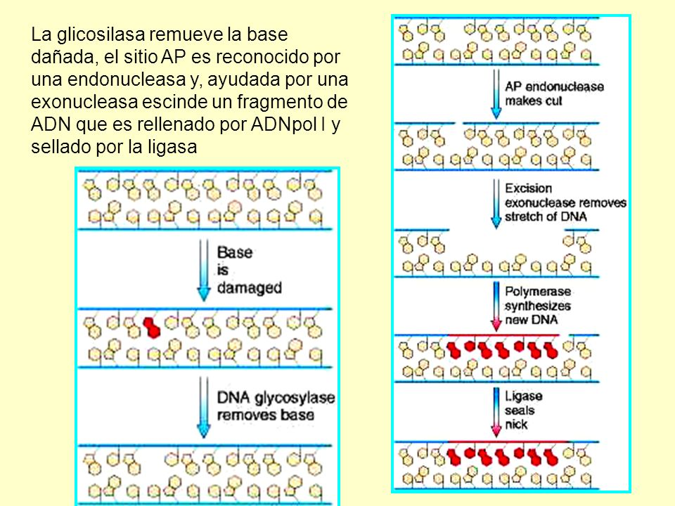 La glicosilasa remueve la base dañada, el sitio AP es reconocido por una endonucleasa y, ayudada por una exonucleasa escinde un fragmento de ADN que es rellenado por ADNpol I y sellado por la ligasa