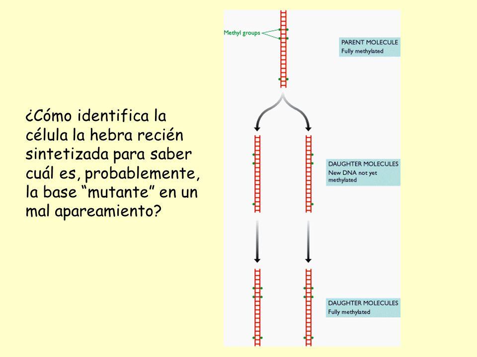 ¿Cómo identifica la célula la hebra recién sintetizada para saber cuál es, probablemente, la base mutante en un mal apareamiento