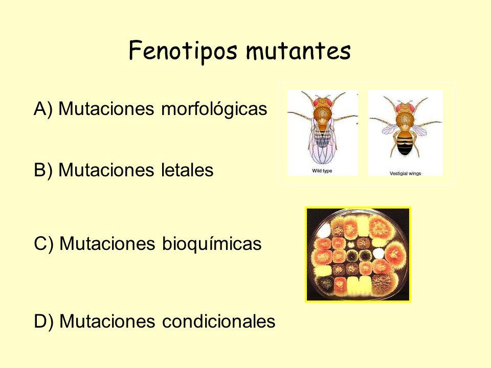 Fenotipos mutantes A) Mutaciones morfológicas B) Mutaciones letales