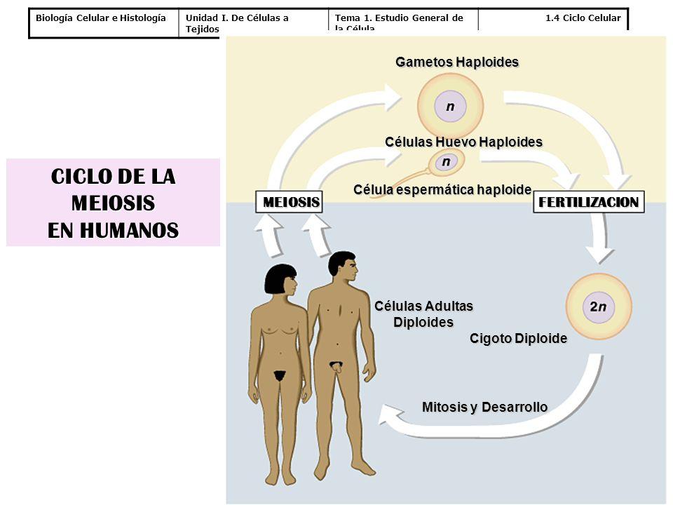 Células Huevo Haploides Célula espermática haploide
