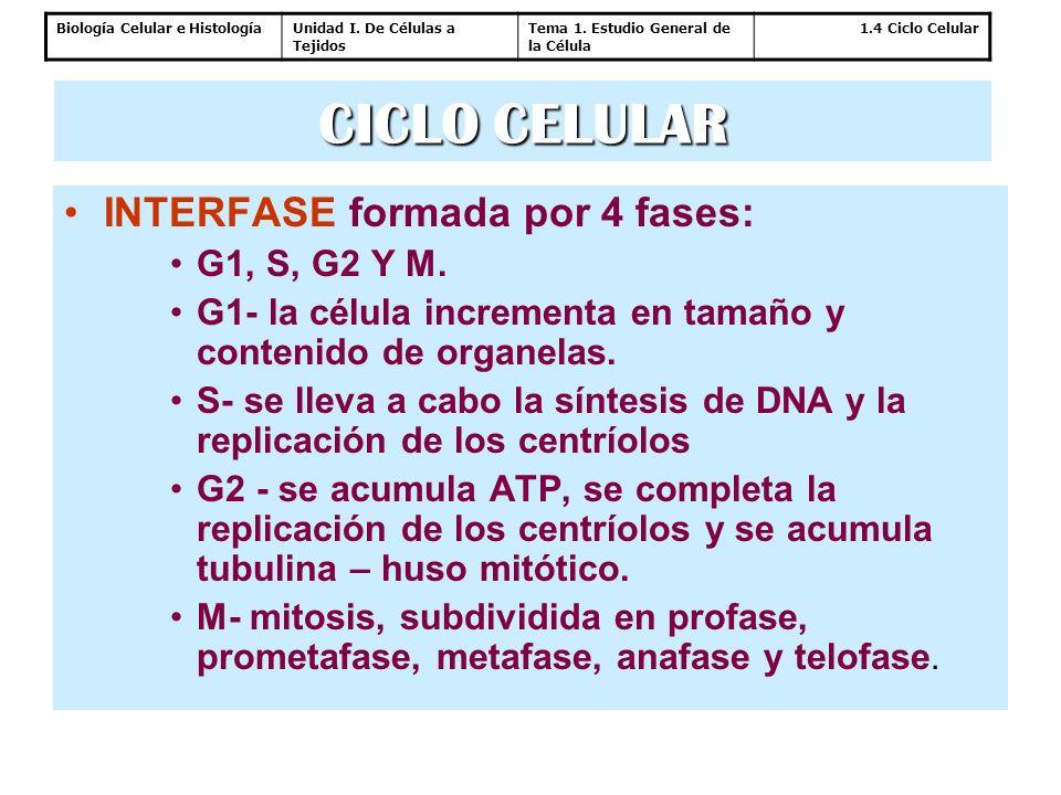 CICLO CELULAR INTERFASE formada por 4 fases: G1, S, G2 Y M.