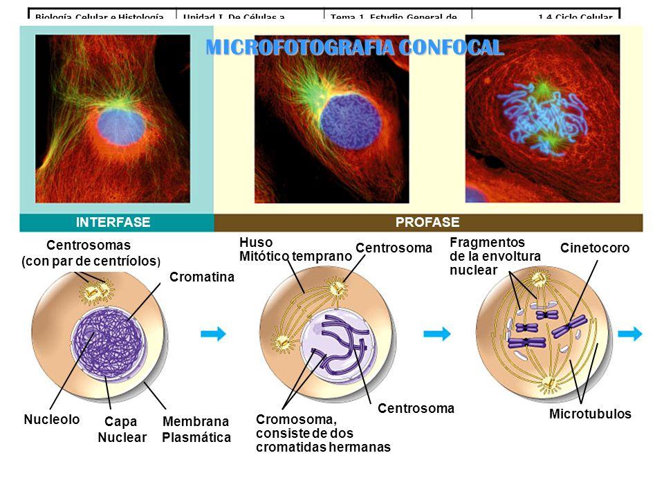 MICROFOTOGRAFIA CONFOCAL