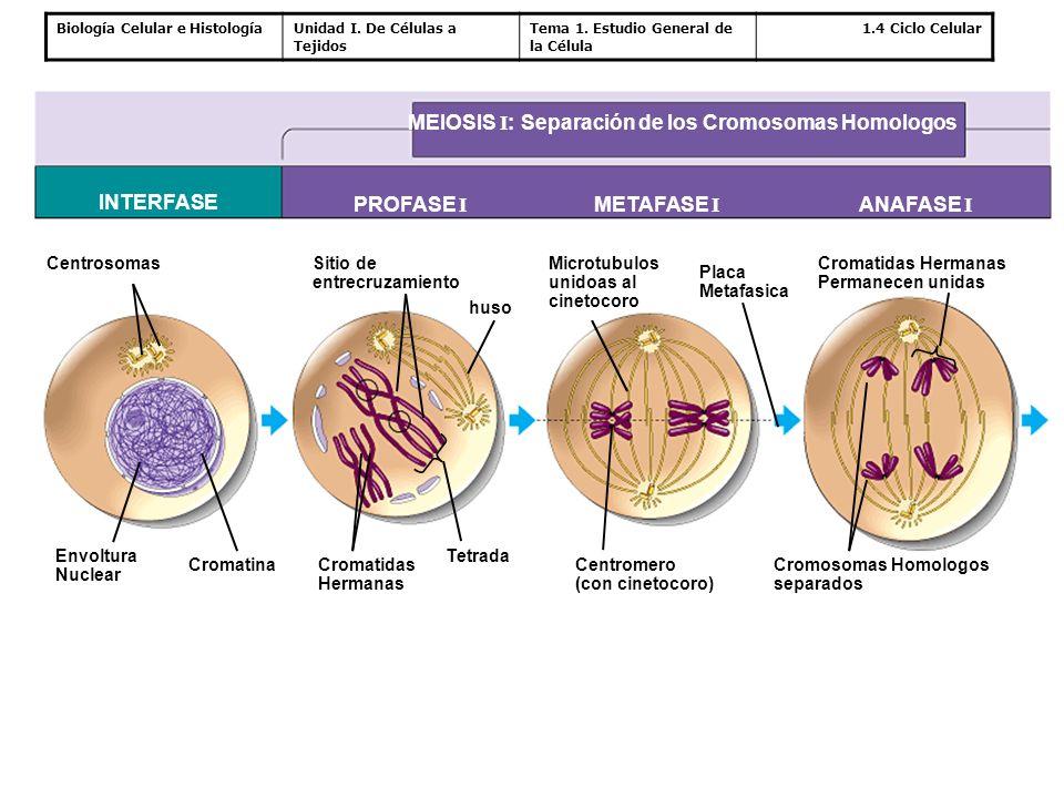 MEIOSIS I: Separación de los Cromosomas Homologos