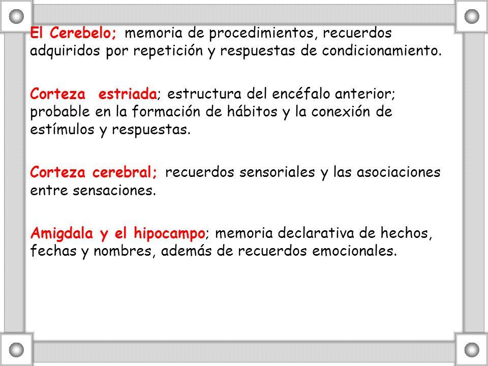 El Cerebelo; memoria de procedimientos, recuerdos adquiridos por repetición y respuestas de condicionamiento.