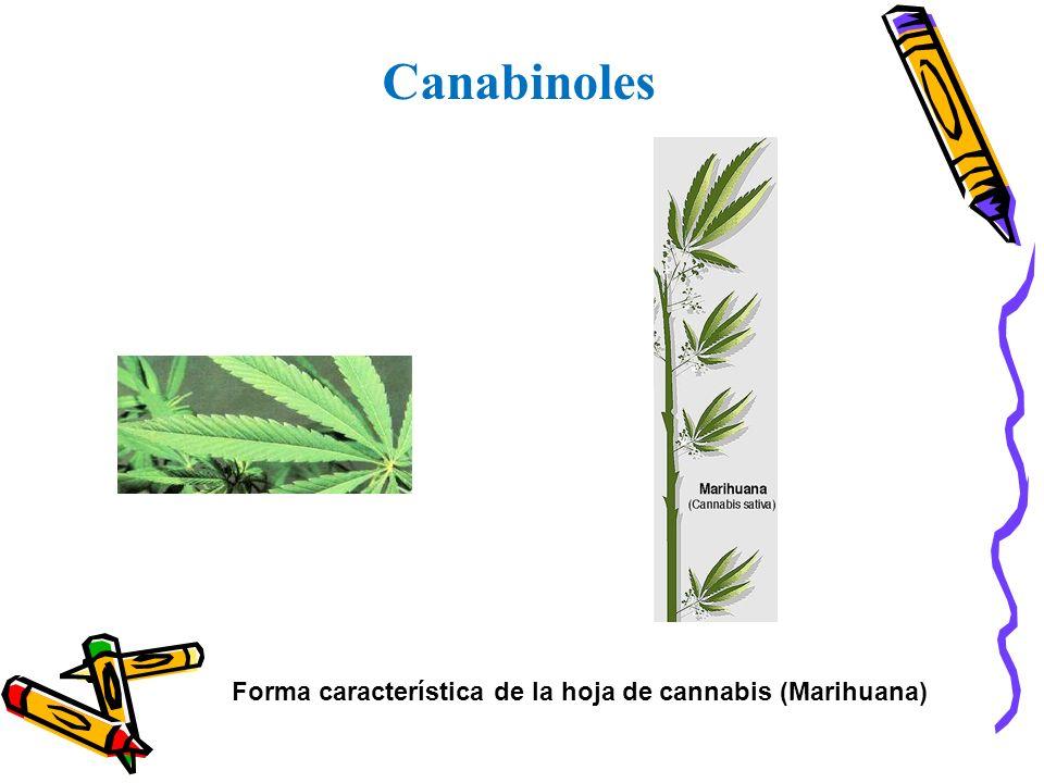 Forma característica de la hoja de cannabis (Marihuana)