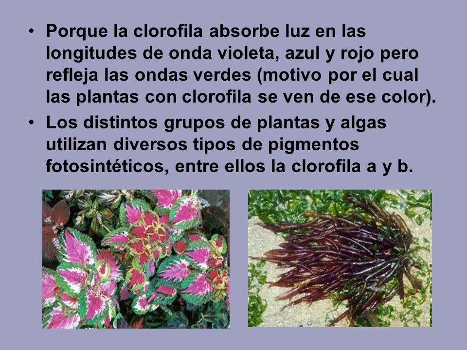 Porque la clorofila absorbe luz en las longitudes de onda violeta, azul y rojo pero refleja las ondas verdes (motivo por el cual las plantas con clorofila se ven de ese color).