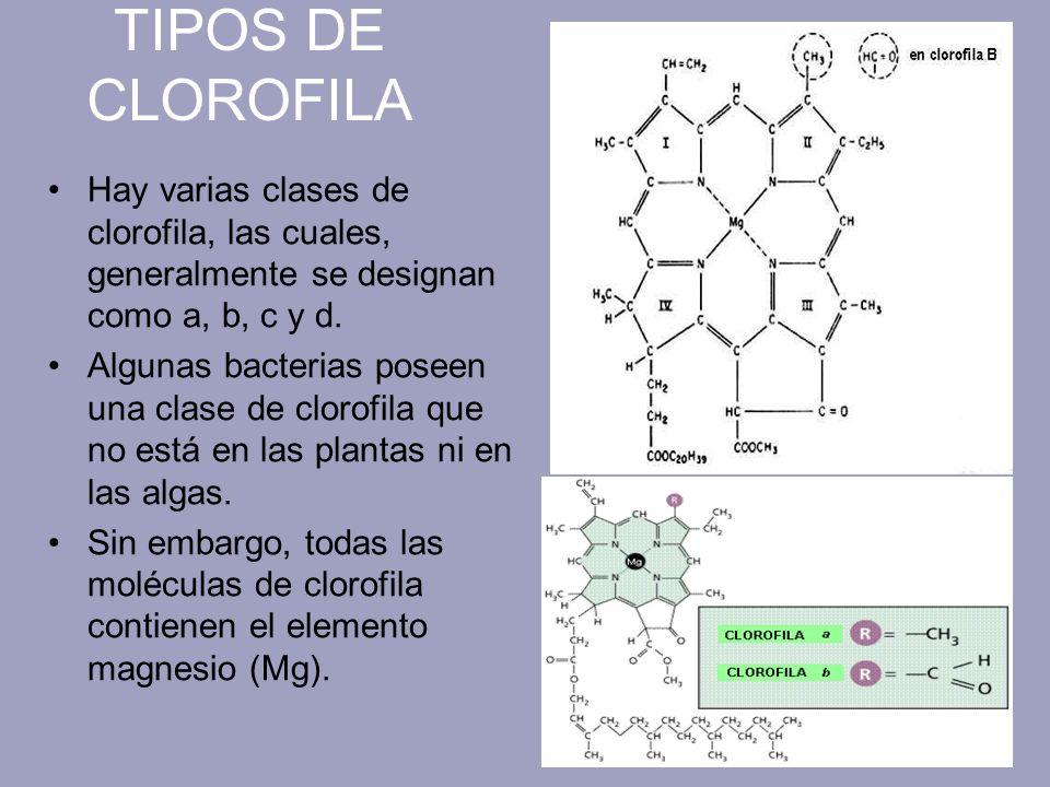TIPOS DE CLOROFILA Hay varias clases de clorofila, las cuales, generalmente se designan como a, b, c y d.
