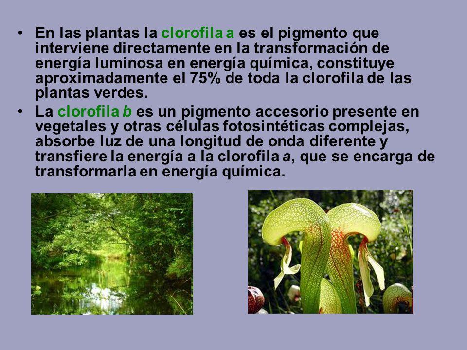 En las plantas la clorofila a es el pigmento que interviene directamente en la transformación de energía luminosa en energía química, constituye aproximadamente el 75% de toda la clorofila de las plantas verdes.