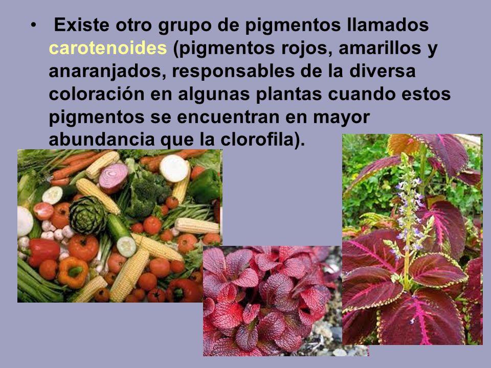 Existe otro grupo de pigmentos llamados carotenoides (pigmentos rojos, amarillos y anaranjados, responsables de la diversa coloración en algunas plantas cuando estos pigmentos se encuentran en mayor abundancia que la clorofila).