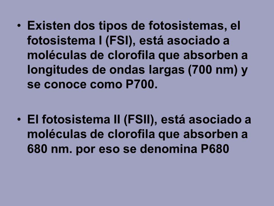 Existen dos tipos de fotosistemas, el fotosistema I (FSI), está asociado a moléculas de clorofila que absorben a longitudes de ondas largas (700 nm) y se conoce como P700.