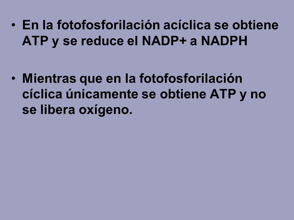 En la fotofosforilación acíclica se obtiene ATP y se reduce el NADP+ a NADPH