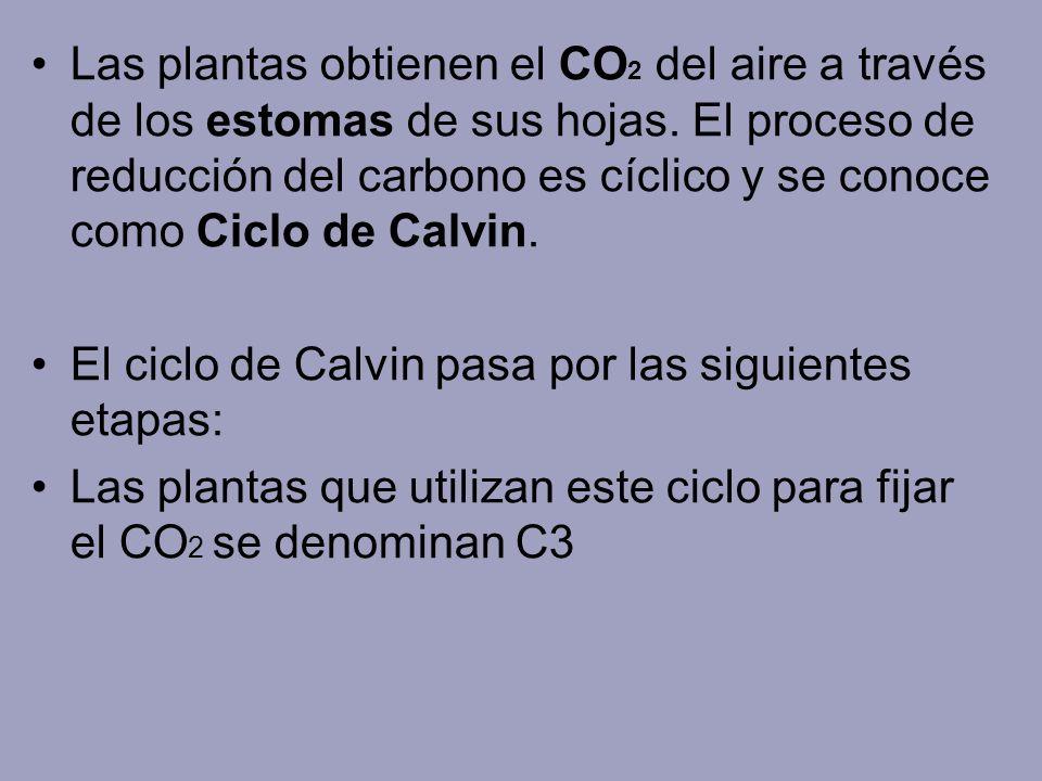 Las plantas obtienen el CO2 del aire a través de los estomas de sus hojas. El proceso de reducción del carbono es cíclico y se conoce como Ciclo de Calvin.