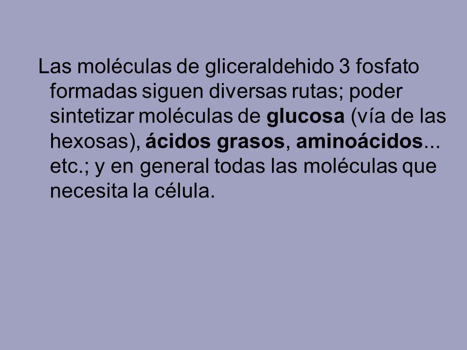 Las moléculas de gliceraldehido 3 fosfato formadas siguen diversas rutas; poder sintetizar moléculas de glucosa (vía de las hexosas), ácidos grasos, aminoácidos...