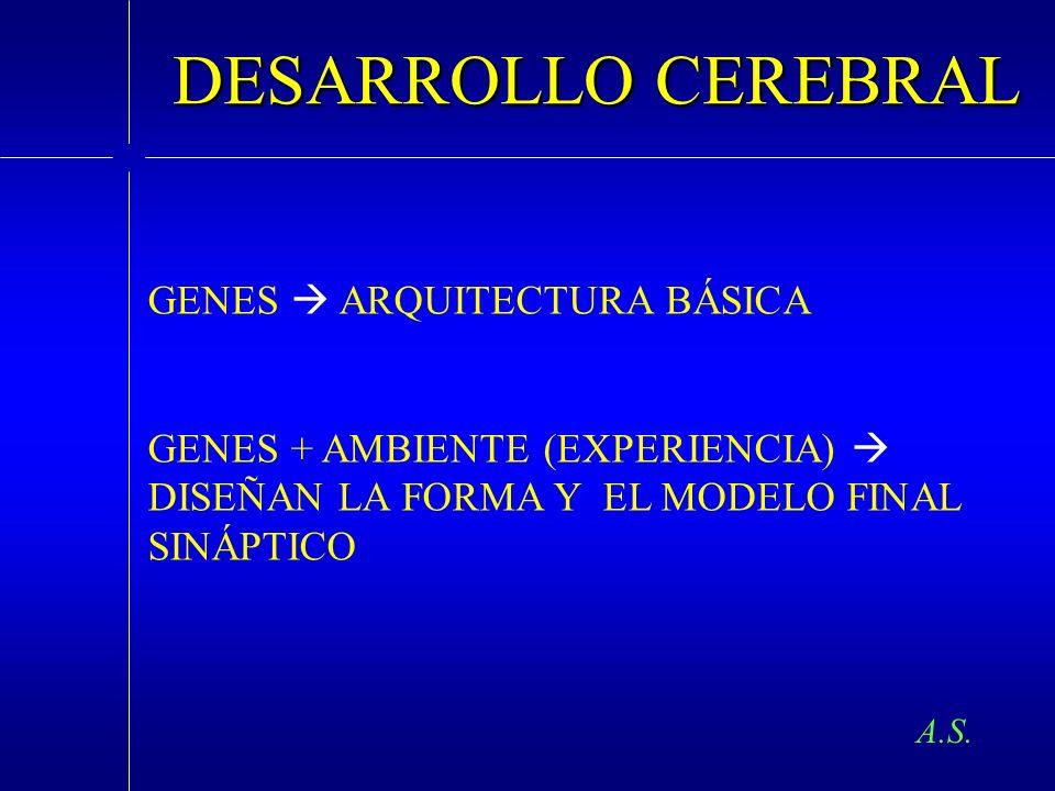 DESARROLLO CEREBRAL GENES  ARQUITECTURA BÁSICA