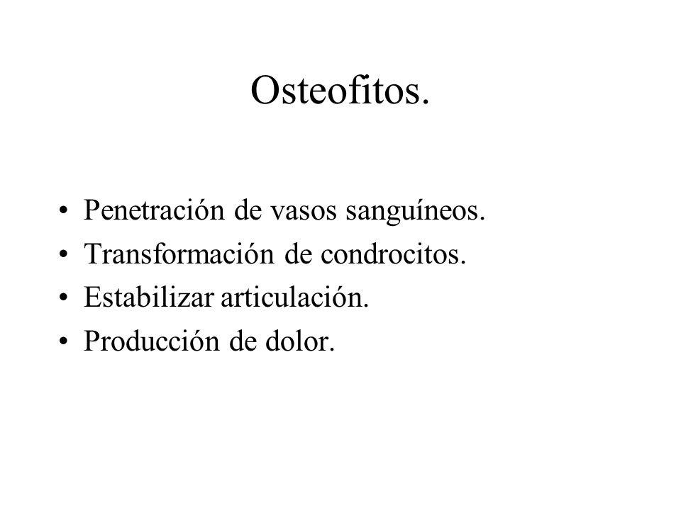 Osteofitos. Penetración de vasos sanguíneos.
