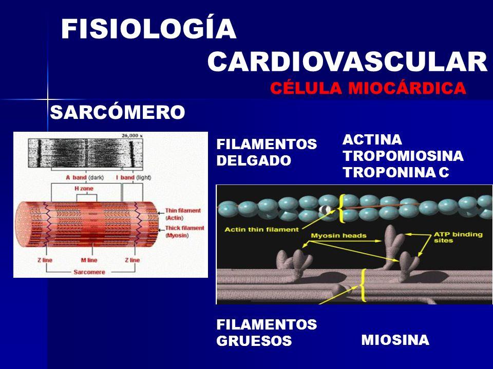 FISIOLOGÍA CARDIOVASCULAR SARCÓMERO CÉLULA MIOCÁRDICA ACTINA