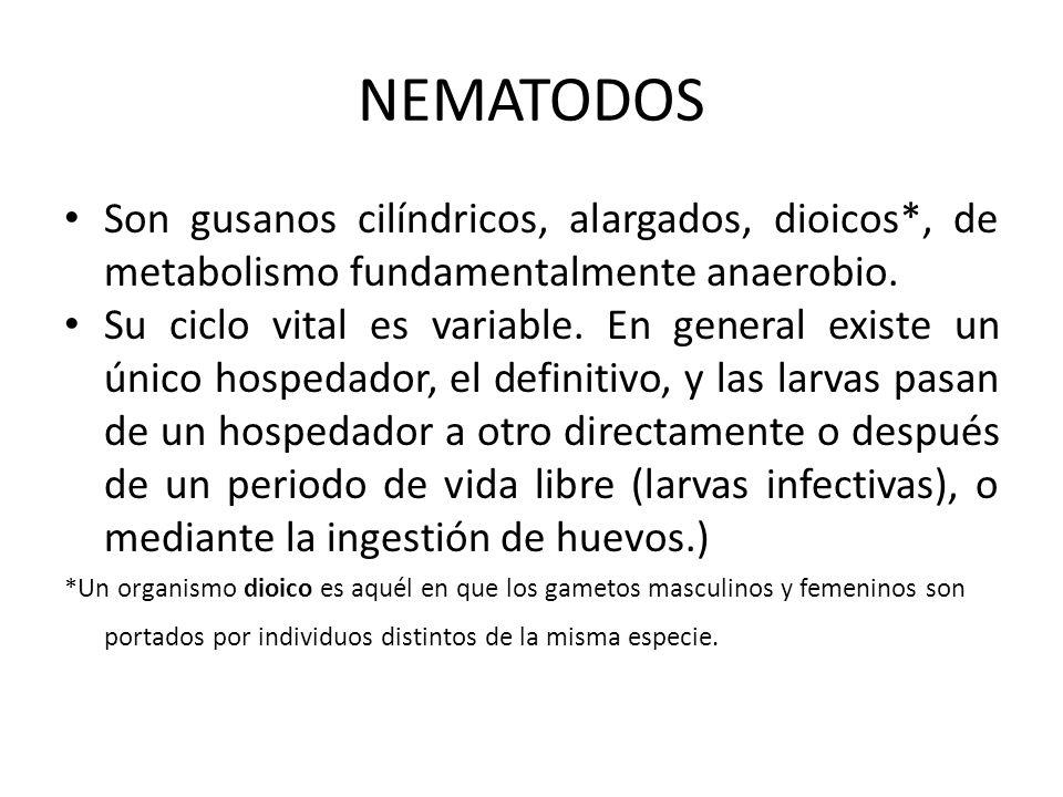 NEMATODOS Son gusanos cilíndricos, alargados, dioicos*, de metabolismo fundamentalmente anaerobio.