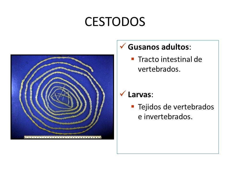 CESTODOS Gusanos adultos: Larvas: Tracto intestinal de vertebrados.
