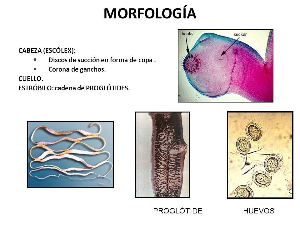 MORFOLOGÍA PROGLÓTIDE HUEVOS CABEZA (ESCÓLEX):