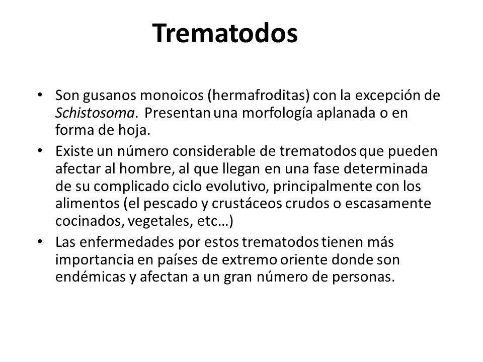 Trematodos Son gusanos monoicos (hermafroditas) con la excepción de Schistosoma. Presentan una morfología aplanada o en forma de hoja.