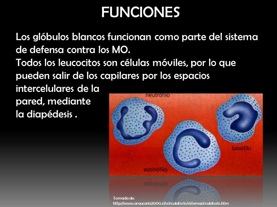 FUNCIONES Los glóbulos blancos funcionan como parte del sistema de defensa contra los MO.