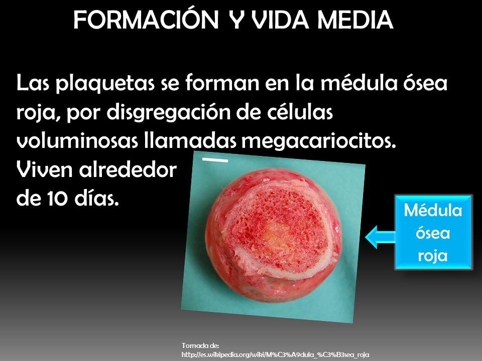 FORMACIÓN Y VIDA MEDIALas plaquetas se forman en la médula ósea roja, por disgregación de células voluminosas llamadas megacariocitos.