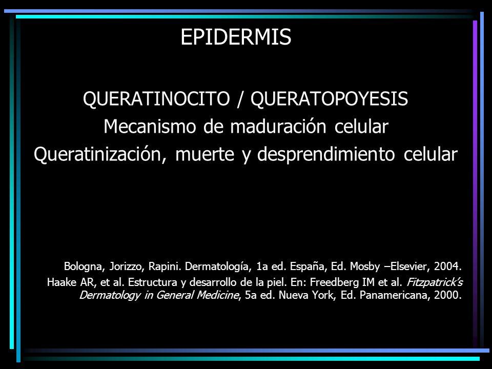 EPIDERMIS QUERATINOCITO / QUERATOPOYESIS