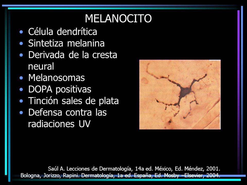 MELANOCITO Célula dendrítica Sintetiza melanina Derivada de la cresta