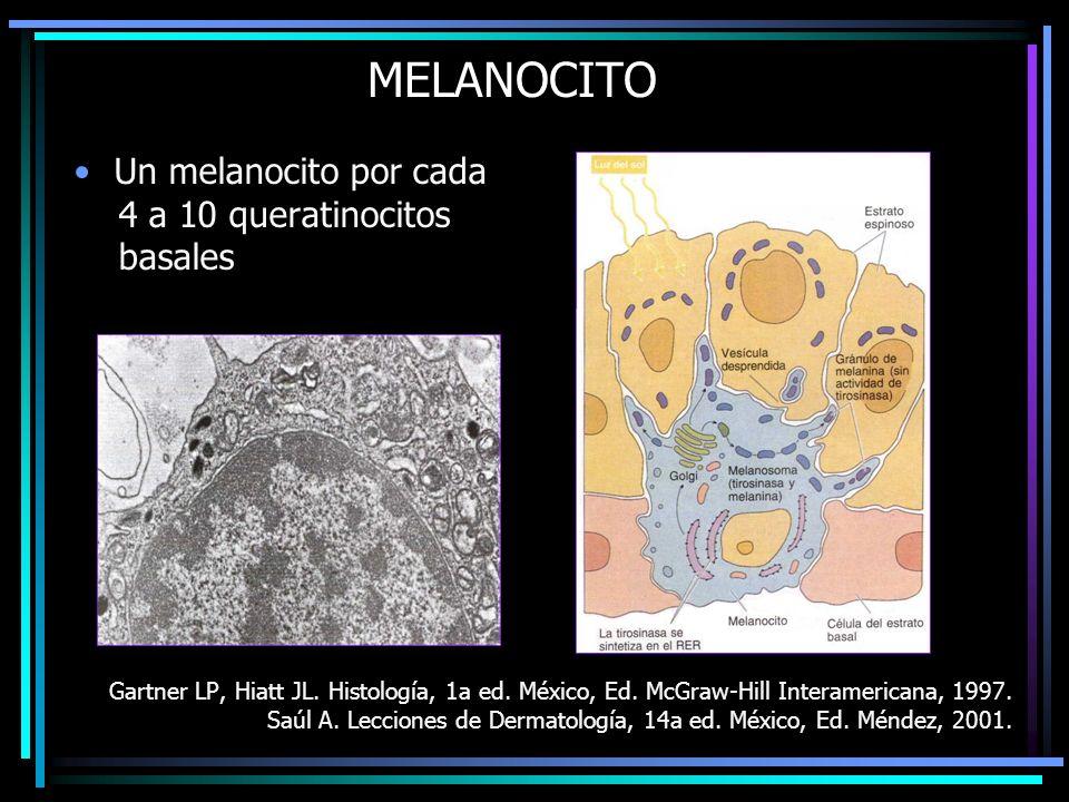 MELANOCITO Un melanocito por cada 4 a 10 queratinocitos basales