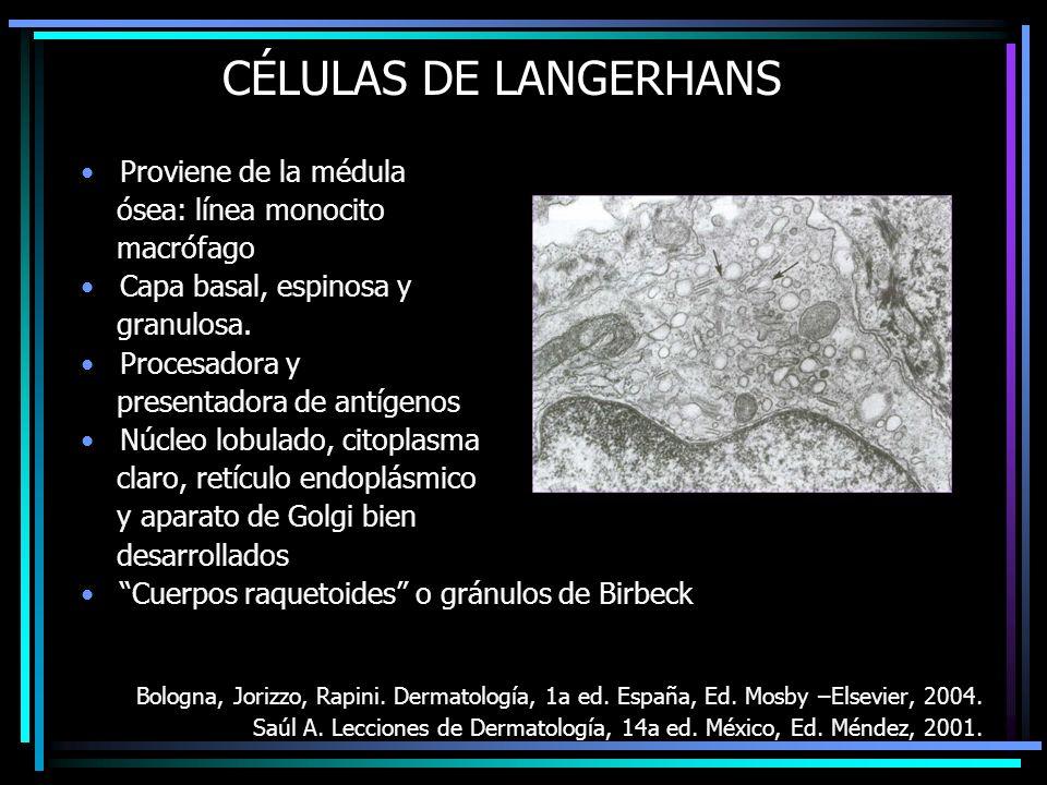 CÉLULAS DE LANGERHANS Proviene de la médula ósea: línea monocito