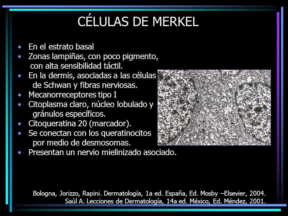 CÉLULAS DE MERKEL En el estrato basal