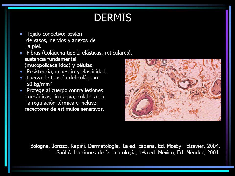 DERMIS Tejido conectivo: sostén de vasos, nervios y anexos de la piel.