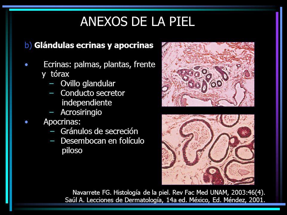 ANEXOS DE LA PIEL b) Glándulas ecrinas y apocrinas