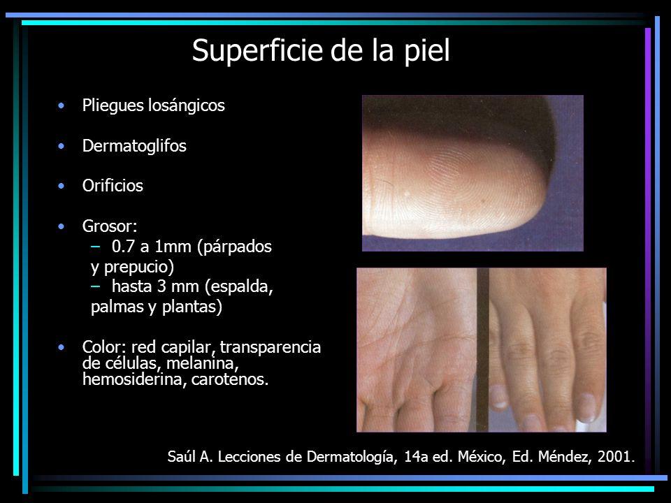 Superficie de la piel Pliegues losángicos Dermatoglifos Orificios