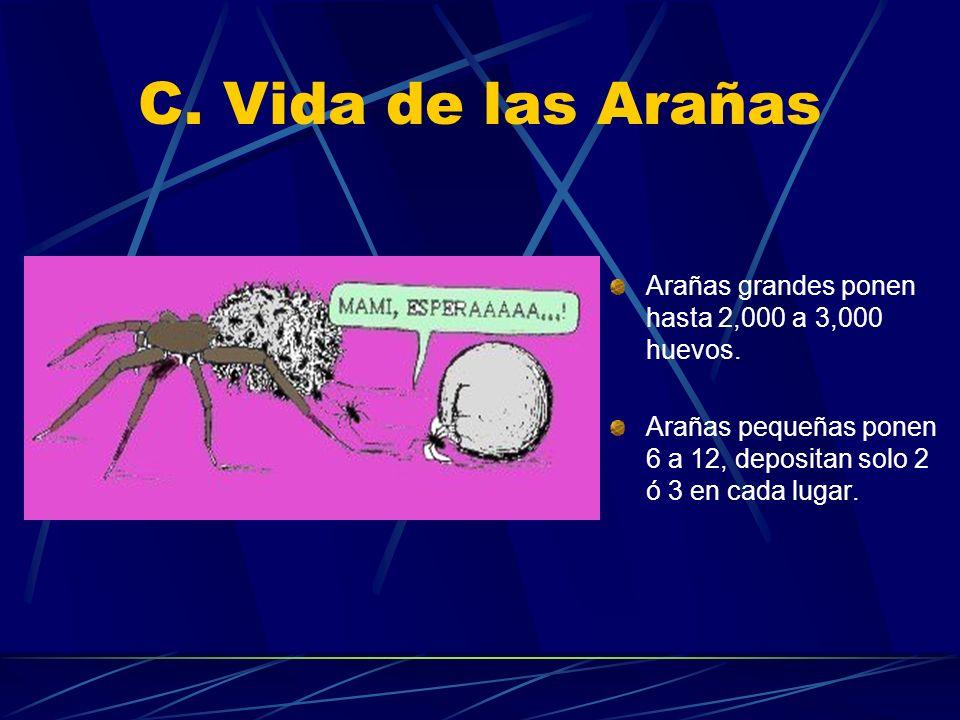 C. Vida de las Arañas Arañas grandes ponen hasta 2,000 a 3,000 huevos.