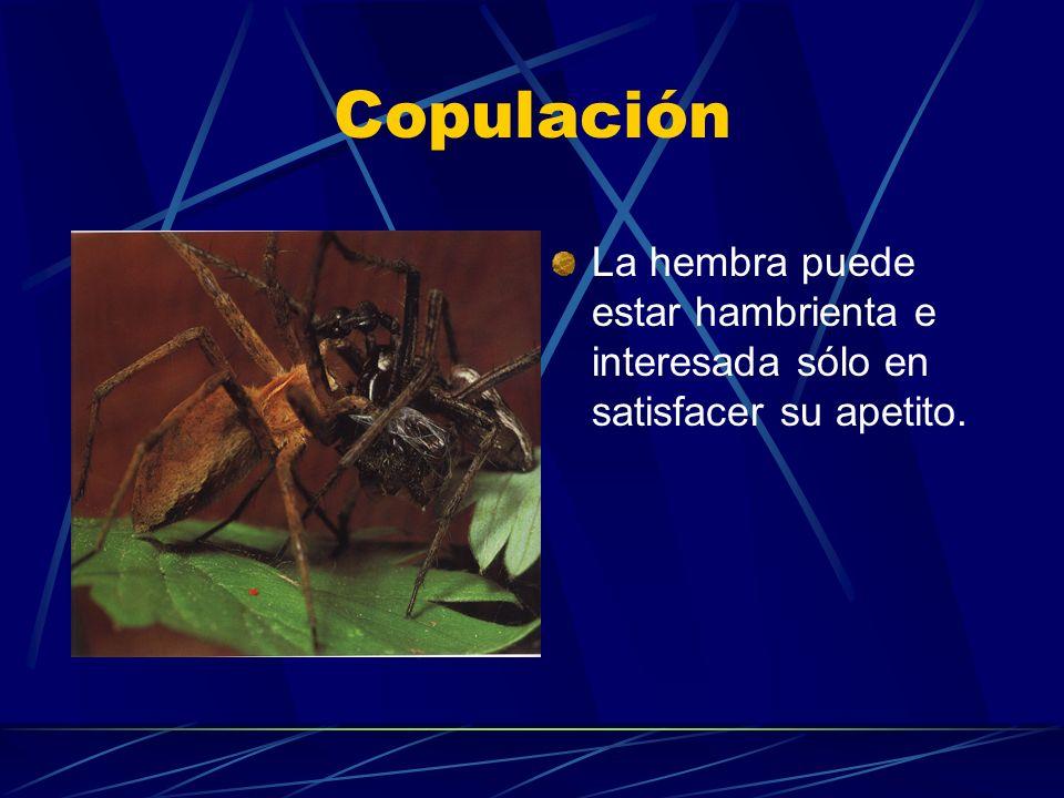 Copulación La hembra puede estar hambrienta e interesada sólo en satisfacer su apetito.