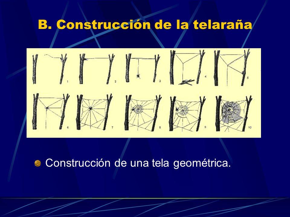 B. Construcción de la telaraña