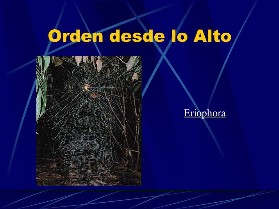 Orden desde lo Alto Eriophora