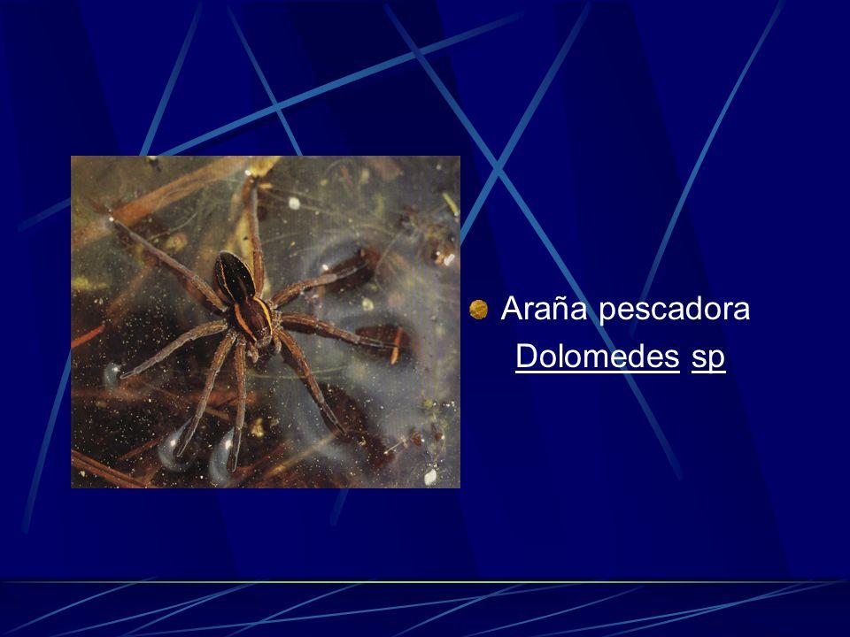 Araña pescadora Dolomedes sp