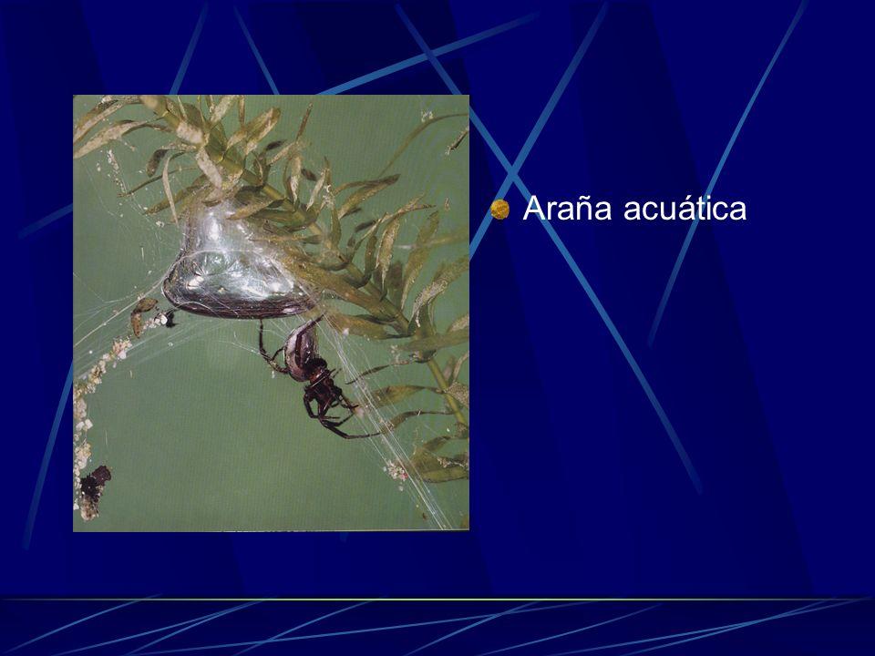 Araña acuática