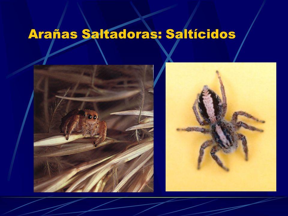 Arañas Saltadoras: Saltícidos