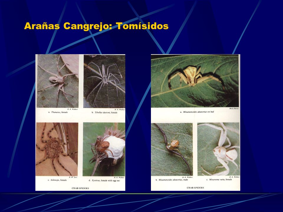 Arañas Cangrejo: Tomísidos