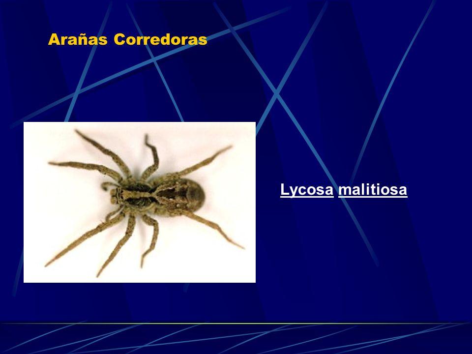 Arañas Corredoras Lycosa malitiosa