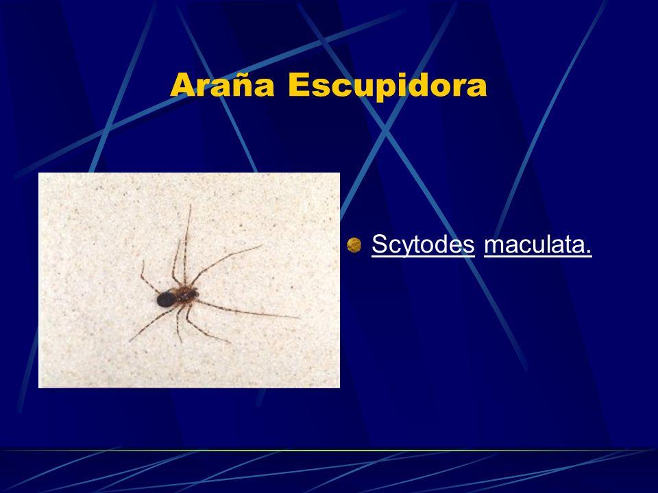 Araña Escupidora Scytodes maculata.