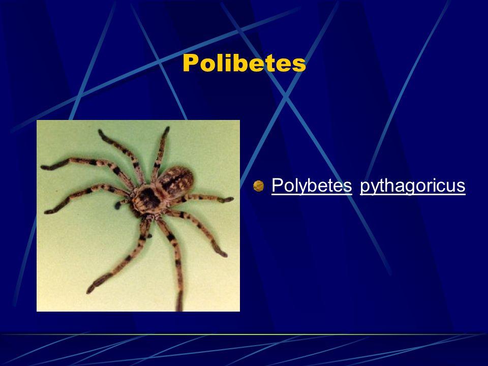 Polibetes Polybetes pythagoricus
