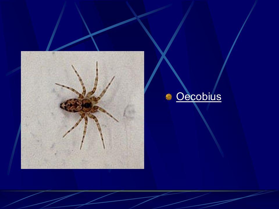 Oecobius