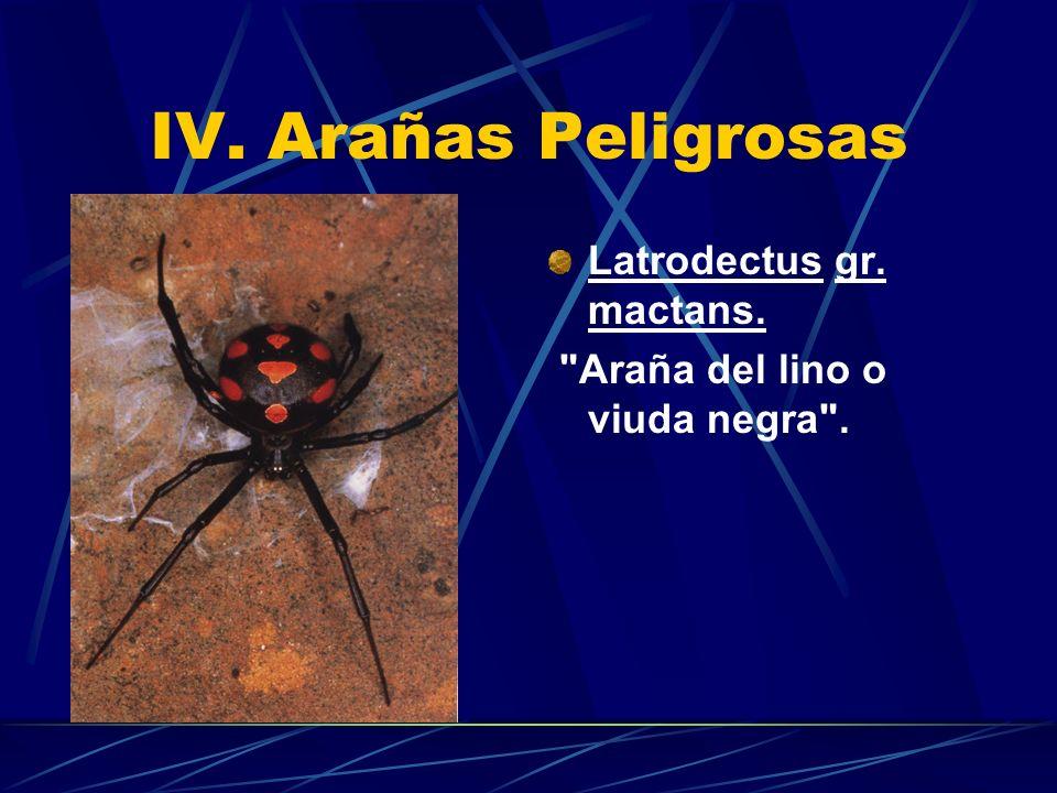 IV. Arañas Peligrosas Latrodectus gr. mactans.